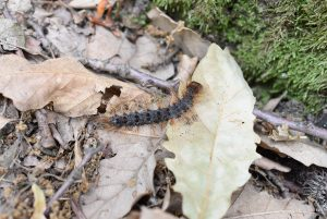 First record of Entomophaga maimaiga (Entomophthorales: Entomophthoraceae) in Slovakia