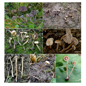 Circumscription of species in the Hodophilus foetens complex (Clavariaceae, Agaricales) in Europe