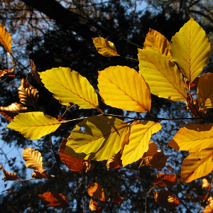 Variation in Ecophysiological Traits and Drought Tolerance of Beech (Fagus sylvatica L.) Seedlings from Different Populations