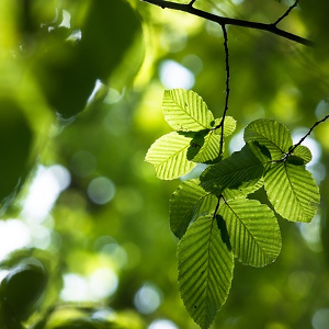 The response of intra-annual stem circumference increase of young European beech provenances to 2012-2014 weather variability