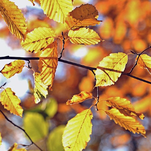 Ecophysiological aspects of beech growth (Fagus sylvatica L.) in different stress conditions