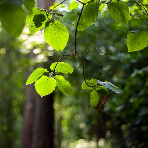 Effects of drought on selected physiological parameters of young beech trees under stress conditions