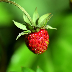 Altitudinal variation of plant traits: morphological characteristics in Fragaria vesca L. (Rosacea)