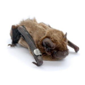 Dawn swarming in tree-dwelling bats – an unexplored behaviour