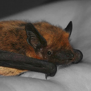 Foraging strategy of Kuhl's pipistrelle at the northern edge of the species distribution