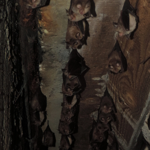 A noteworthy record of Rhinolophus hipposideros nursery roost under a road bridge