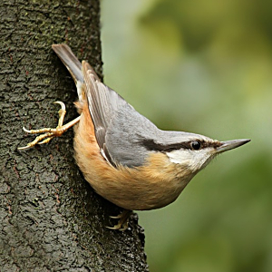 Structure of tree vegetation may reduce costs of territory defence in Eurasian Nuthatch Sitta europaea