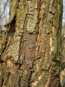 Hypovirulence in chestnut blight fungus, Cryphonectria parasitica, in Slovakia