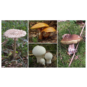 Mercury, cadmium, lead and copper contents in fruiting bodies of selected edible mushrooms in contaminated Middle Spiš region, Slovakia