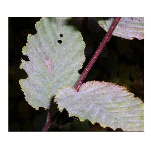European hornbeam powdery mildew Erysiphe arcuata in Slovakia