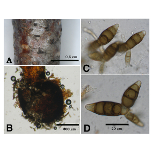 Two important ascomycetes and their anamorphs on twigs of Betula pendula in Slovakia