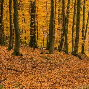 Buk ako edifikátor lesných geobiocenóz