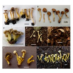 European Hodophilus (Clavariaceae, Agaricales) species with yellow stipe