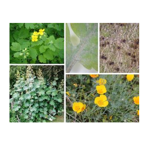 Genetic diversity and host range of powdery mildews on Papaveraceae