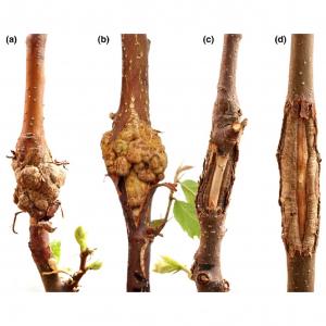 Screening for resistance of progenies derived from Castanea sativa × C. crenata and C. crenata to Cryphonectria parasitica